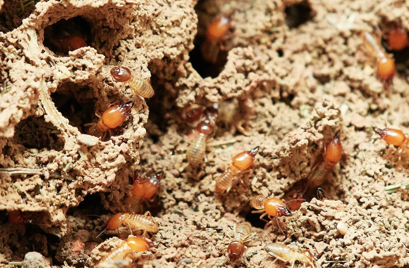 The Eastern Subterranean Termite